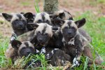 african_painted_dogs___pups_i_by_weaverglenn-d41kkmk.jpg