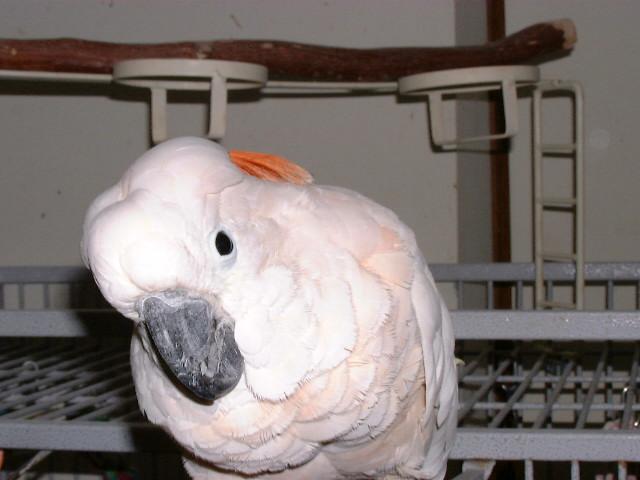 Bob moluccan cockatoo.JPG
